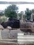 африканские страусы