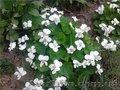 Продам саженцы фиалки садовой многолетней белой.