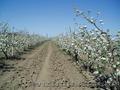 Плодоносящий яблоневый сад в Крыму. Продам