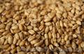 Покупаем пшеницу 2, 3, 6 класса дорого